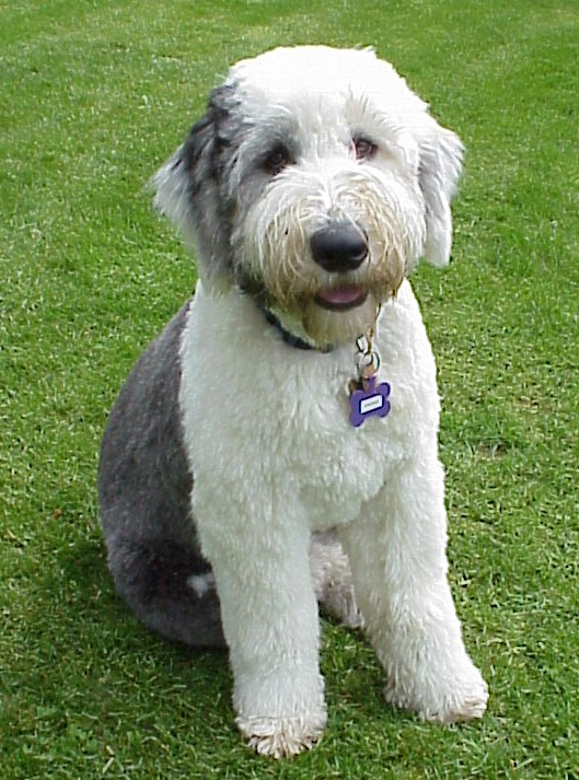Rescue Old English Sheepdogs - Goldenacresdogs com